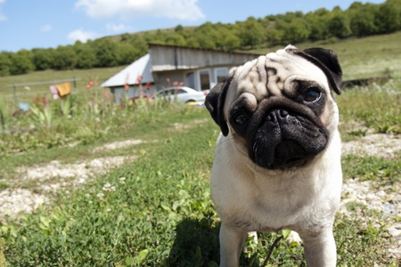 doggie: Inquisitive pug dog standing in an open field and looking straight at the camera Stock Photo