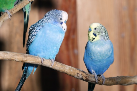 two parrots: Pair of blue budgerigars Stock Photo