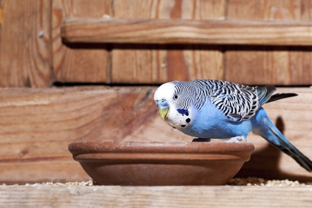 budgie: Young blue budgie in aviary Stock Photo
