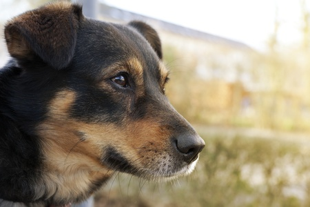 dogie: Head of german shepherd dog in profile with an alert loving expression