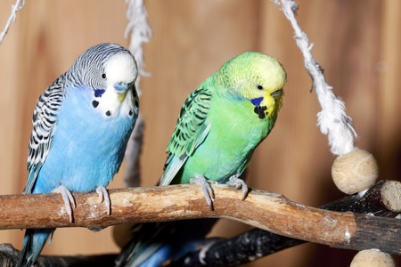 captivity: Pair of blue budgerigars Stock Photo