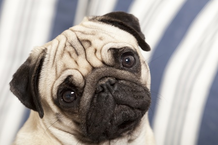 soulful eyes: Pug dog looking directly at camera with large expressive round eyes and wrinkled frown Stock Photo
