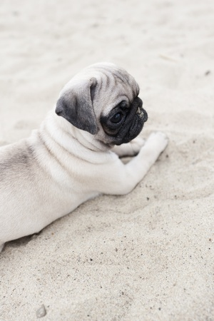 pug nose: Cute pug puppy on  sand