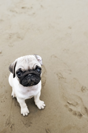 pug dog: Pug puppy on wet beach sand