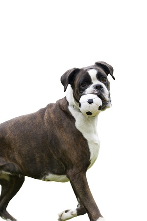 Alert happy young dog playing fetch carrying a ball in its mouth,isolated on white