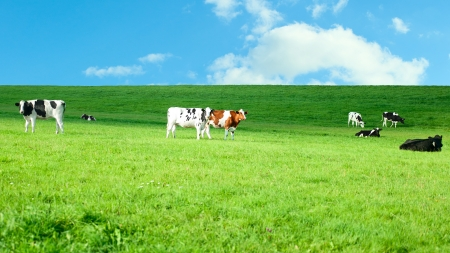 Holstein cows in a lush pasture photo