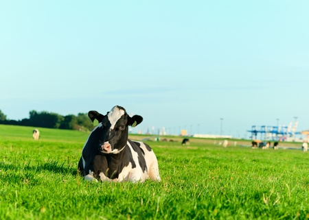 ranching: Holstein dairy cow lying on grass