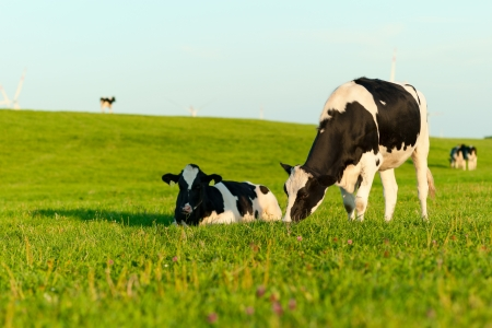 holstein cow: Holstein cows grazing Stock Photo