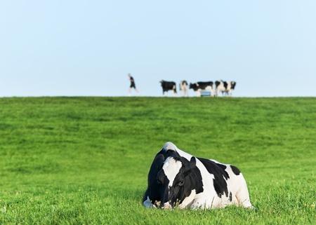 holstein: Holstein dairy cow resting on grass