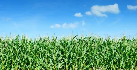 planta de maiz: Panorama de campo del maíz contra el cielo azul