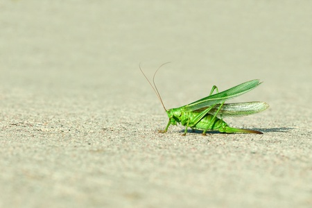 acrididae: Green grasshopper wings raised Stock Photo