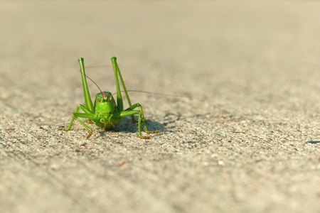 langosta: Saltamontes verde