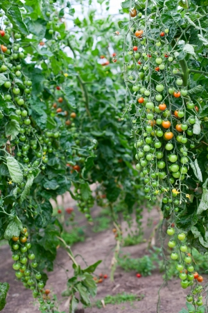 bunches: Cherry tomatoes in a greenhouse