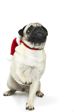 stocky: Adorable pug in a Christmas Santa hat Stock Photo