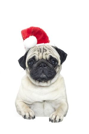 Portrait of a pug dog in a Santa Claus hat Stock Photo - 16842809
