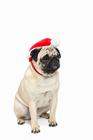 stocky: Cute pug wearing a red Santa Hat