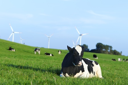 Holstein dairy cow resting on grass photo
