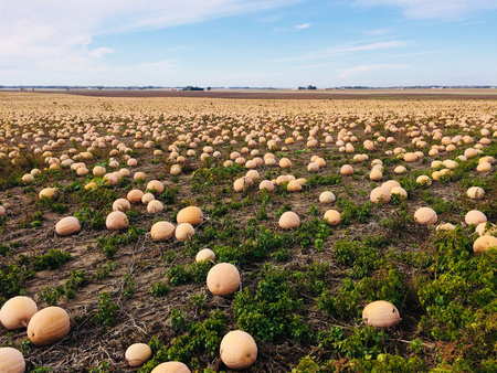 Thousands of pumpkins in a farm field ready for harvest