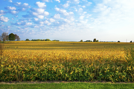 Soybean crop, golden in color, ready to be harvested on Central Illinois farm. 版權商用圖片