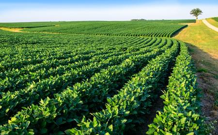 Soybean crop growing on spacious farmland in Central Illinois 版權商用圖片