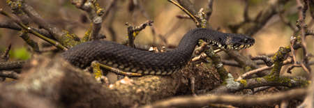 boughs: Photo of adder among boughs Stock Photo