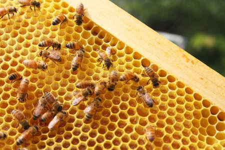 miel et abeilles: Abeilles dans leur ruche Banque d'images
