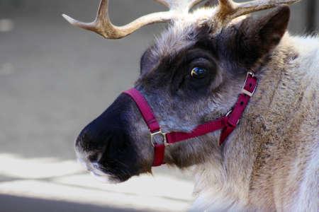 donner: Close-up of a Reindeer