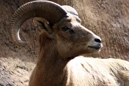 borrego cimarron: Desierto de borrego cimarr�n  Foto de archivo