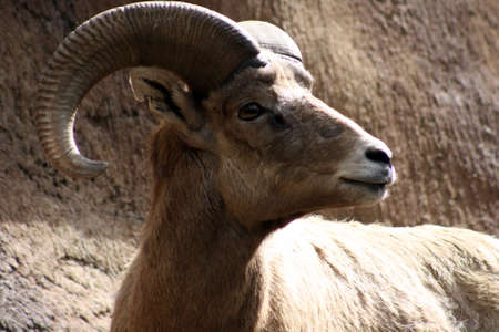bighorn sheep: Pecora Bighorn del deserto