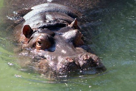 Hippo in the water photo