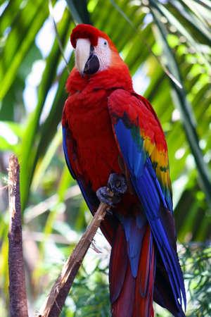 guacamaya: Scarlet Macaw