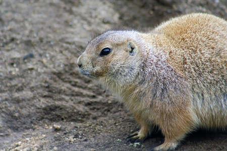 keystone: The prairie dog is an herbivorous burrowing keystone species important to North American grasslands.