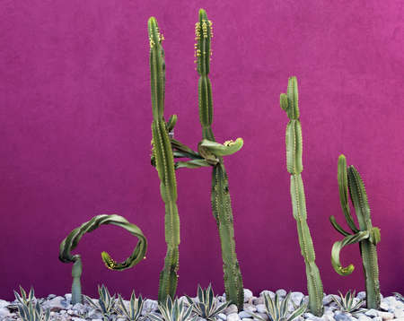Cacti in a rock garden against a fuschia colored background