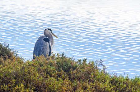 A resident of the Bolsa Chica Wetlands in Huntington Beach, California.
