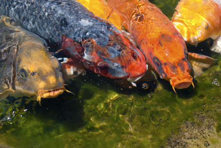Koi fish line up at the edge of a pond waiting to be fed.