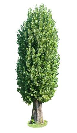 プラタナス: ポプラの木。白い背景の上に孤立しました。 写真素材