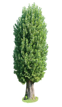 poplar: poplar tree. Isolated over white background .