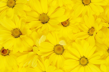 background of yellow daisies. close up flowers photo