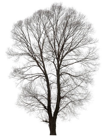 large bare tree without leaves. Isolated over white background.