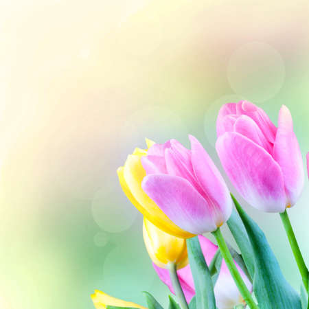 Tulips in the blurry background. Flower gift card Stock Photo - 14384805