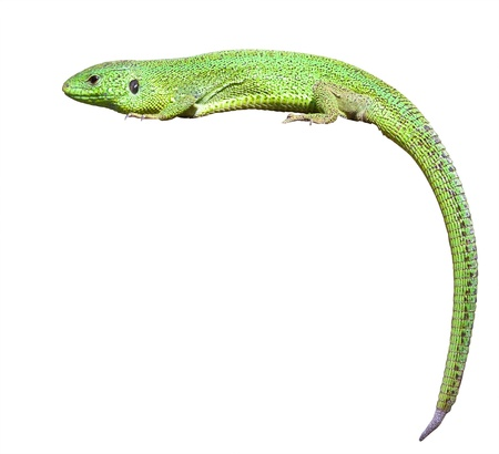 crawling animal: green lizard with a twisted tail  Isolated over white background Stock Photo