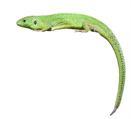 lizard: lagarto verde con una cola retorcida Aislado sobre fondo blanco