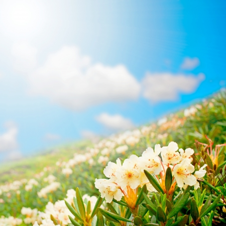 pall: wildflowers. gift card.  mountain meadow field of white flowers against the sky. Rhododendron caucasicum Pall Stock Photo