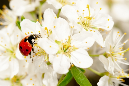 apple blossom: ladybug on blooming fruit tree branches. Close up