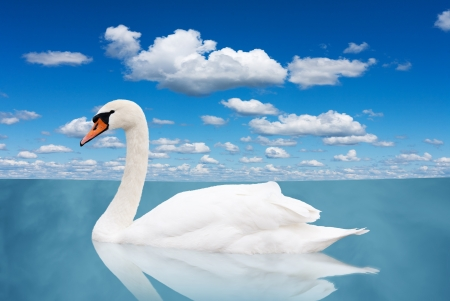 White swan floats in water. bird in a pond under the blue sky with clouds photo