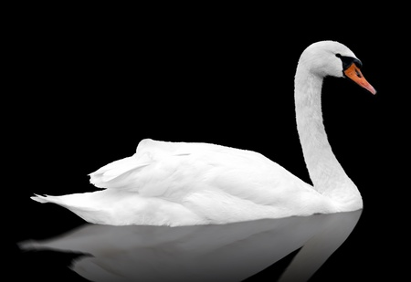 black swan: White swan floats in water. bird isolated over black Stock Photo