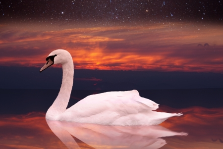White swan swimming in a pond at sunset  a bird in the wild sits on the water at dawn  against the sky with stars Stock Photo