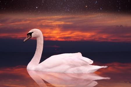 Witte zwaan zwemmen in een vijver bij zonsondergang een vogel in het wild zit op het water in de vroege ochtend tegen de hemel met sterren Stockfoto