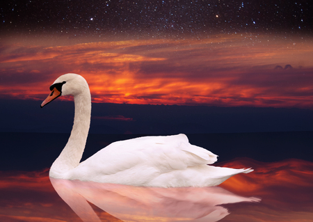 White swan swimming in a pond at sunset. a bird in the wild sits on the water at dawn. against the sky with stars photo