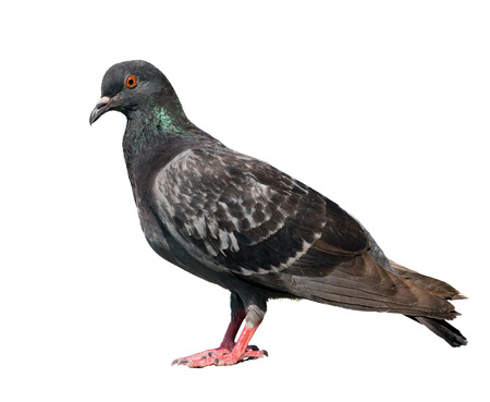pigeon. gray colors. isolated over white background. photo